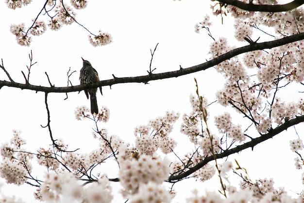 Schöne kirschblüten. sakura blumen in japan. reisezeit frühling.