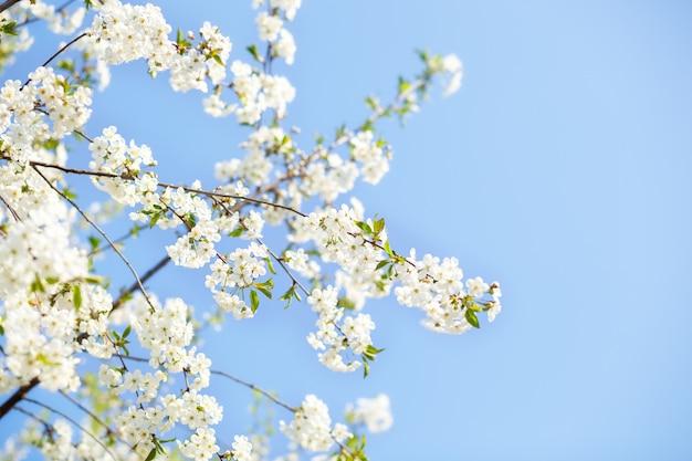 Schöne kirschblüten-sakura im frühling über blauem himmel