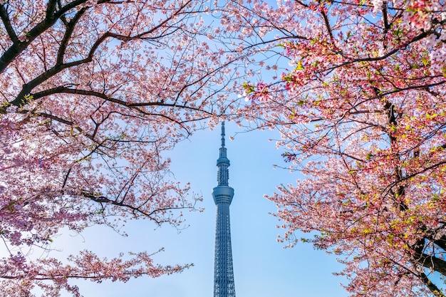 Schöne kirschblüten und tokio-himmelbaum im frühjahr bei tokio, japan.