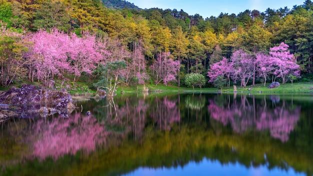 Schöne kirschblütenbäume, die im frühling blühen.