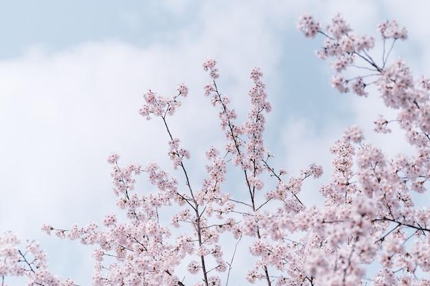 Schöne kirschblumen auf einem zweig
