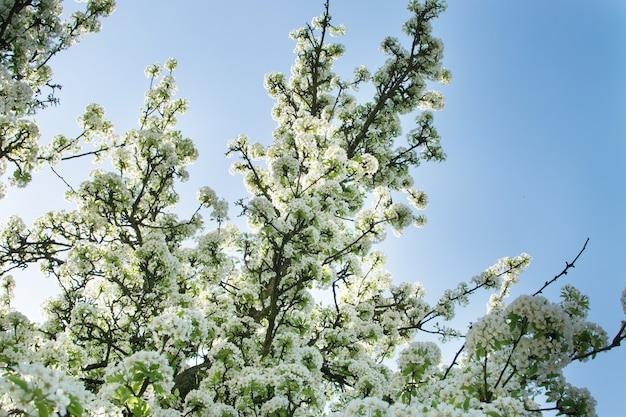 Schöne kirschblumen im frühlingsgarten. weiße fruchtblüten im park auf blauem himmel