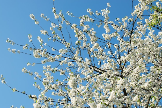 Schöne kirschblumen im frühlingsgarten. weiße fruchtblüten im park auf hintergrund des blauen himmels