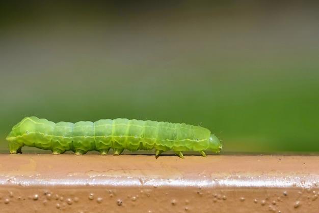 Schöne kleine grüne raupe. makroaufnahme von insekten.