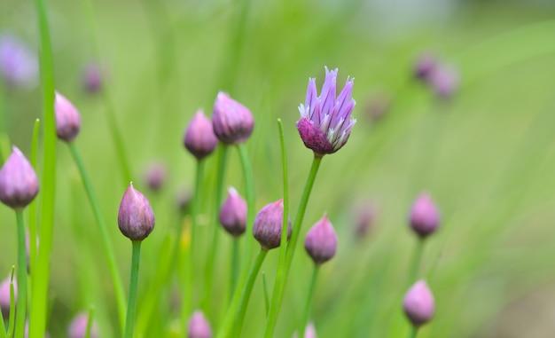Schöne knospen der schnittlauche, die im grün blühen