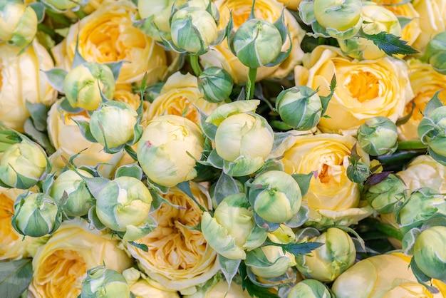 Schöne knospen von gelben rosen