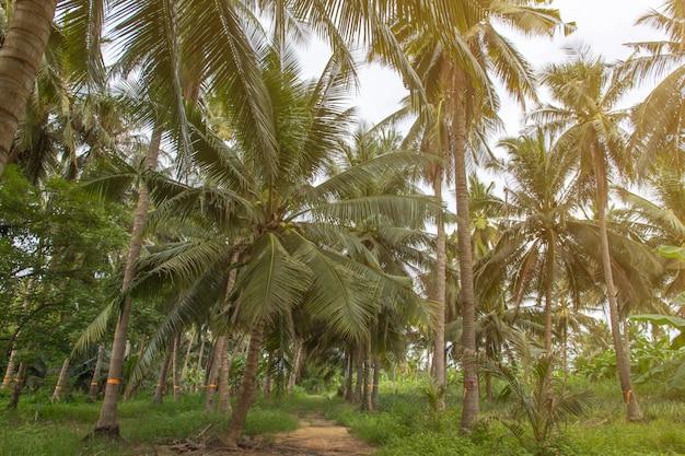 Schöne kokosnusspalmen und himmel im landwirtschaftsbauernhof bei thailand