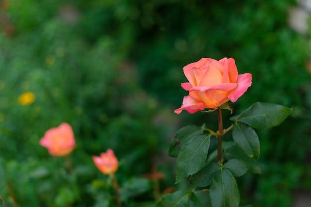 Schöne korallenrose im garten, rosen auf einem busch in einem garten. grün, blume, flora, sommer