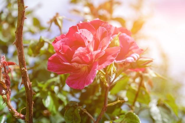 Schöne korallenrote rosarosenblume im rosengarten
