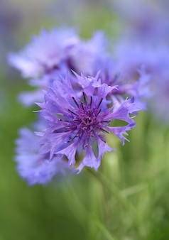 Schöne kornblumen im freien