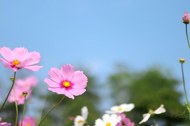 Schöne kosmosblume, die im garten mit verwischt blüht.
