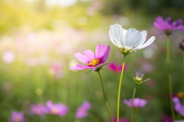 Schöne kosmosblumen am garten