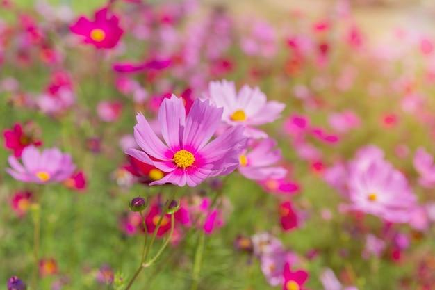 Schöne kosmosblumen, die im garten blühen