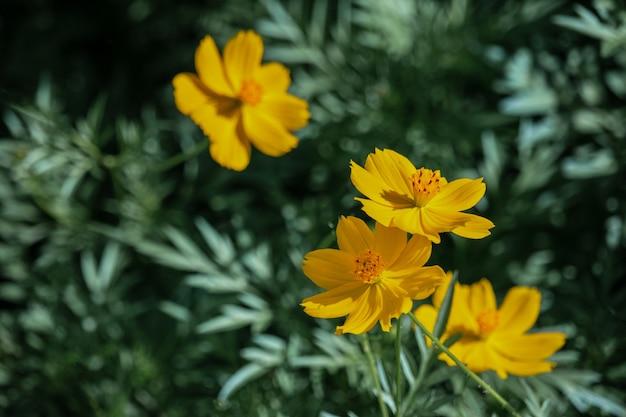 Schöne kosmosblumen, die im garten blühen.