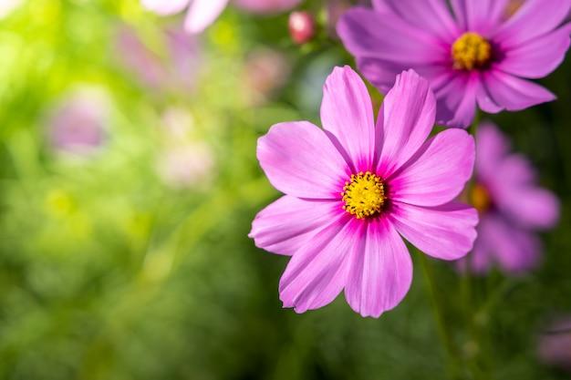 Schöne kosmosblumen im garten. naturhintergrund.