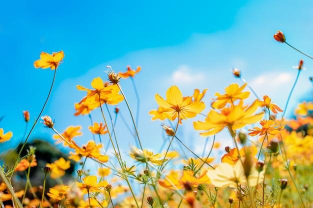 Schöne kosmosfeldblumen, die im garten blühender fokussierter bunter kosmos im garten blühen
