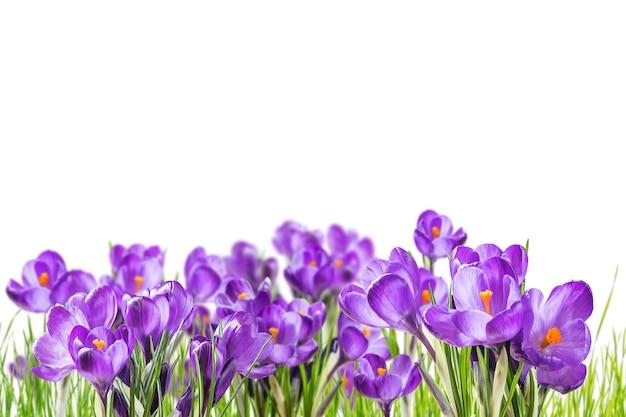 Schöne krokusblumen im gras lokalisiert auf weiß