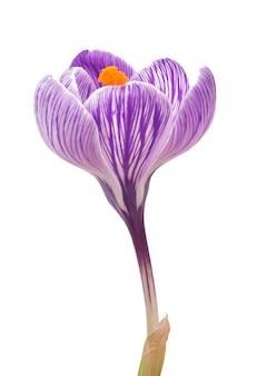 Schöne krokusblumen