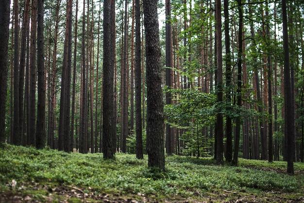 Schöne landschaft der hohen bäume im wald