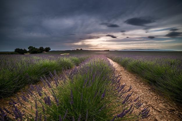 Schöne landschaft der lavendelfelder unter einem dunklen bewölkten himmel