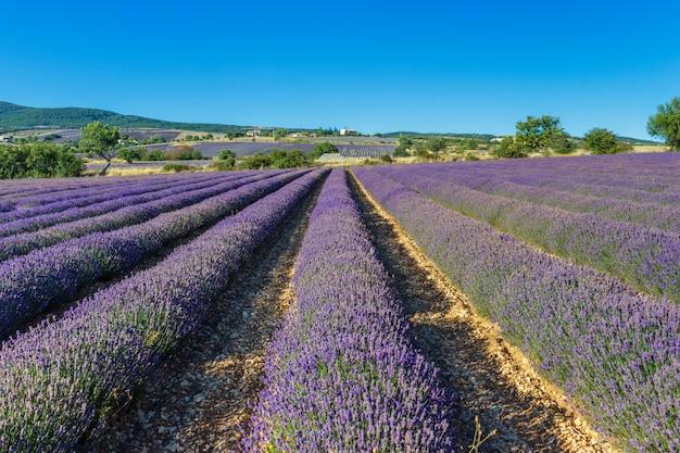 Schöne landschaft der lavendelfelder
