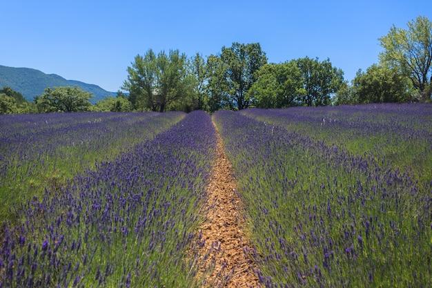 Schöne landschaft des blühenden lavendelfeldes provence.