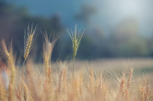 Schöne landschaft des gerstenfeldes im sommer zur sonnenuntergangzeit