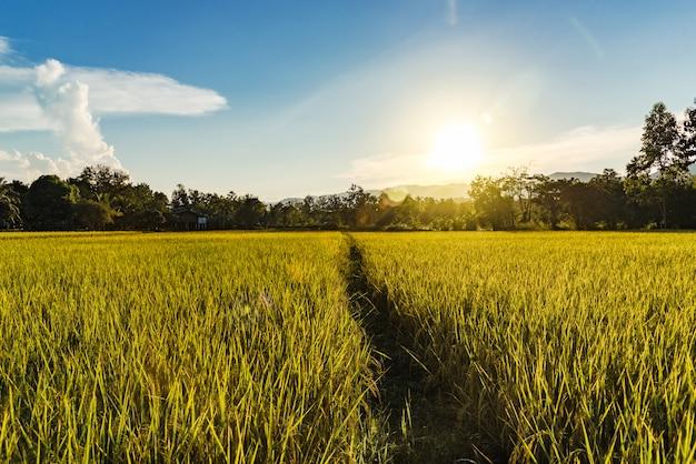 Schöne landschaft des goldenen reisfeldes und des sonnenuntergangs für hintergrund