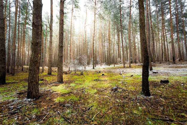 Schöne landschaft des kiefernwaldes am sonnigen frühlingstag