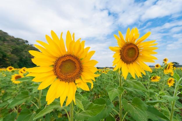 Schöne landschaft des sonnenblumenfeldes mit bewölktem blauem himmel und grünem berg