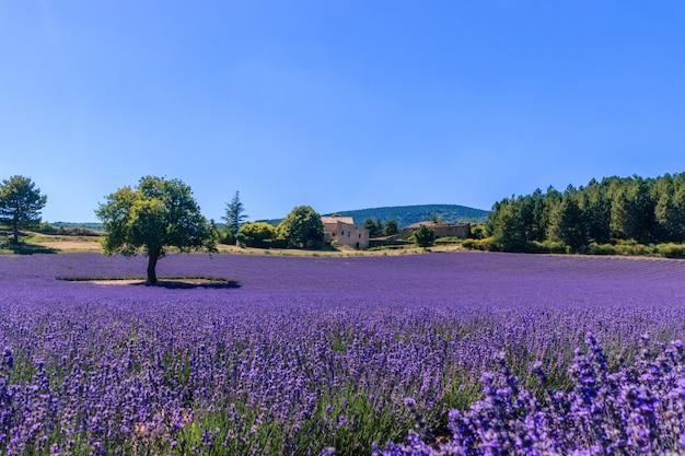 Schöne landschaft eines blühenden lavendelfeldes mit einem haus in der provence.