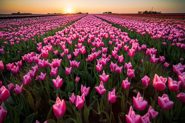 Schöne landschaft eines tulpenfeldes unter dem sonnenuntergangshimmel
