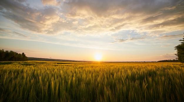 Schöne landschaft mit feld des reifen roggens und des blauen sommerhimmels