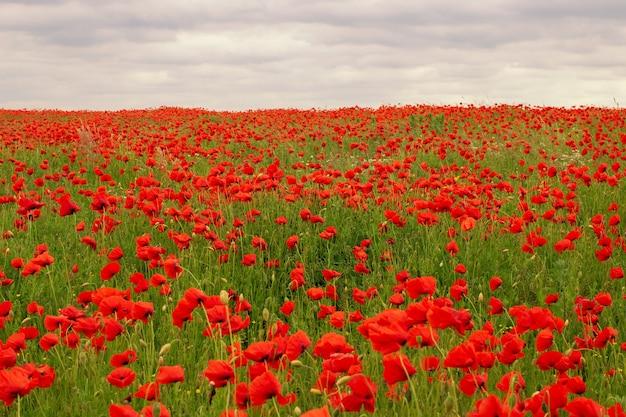 Schöne landschaft mit roten mohnblumen