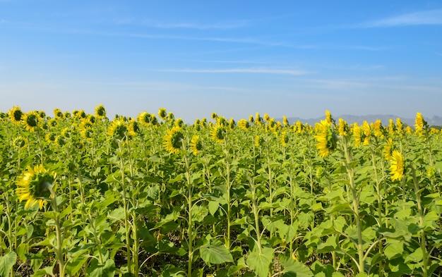 Schöne landschaft mit sonnenblumen