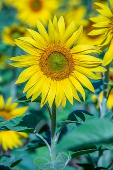 Schöne landschaft mit sonnenblumenfeld. natur-konzept. feld mit sonnenblumen hintergrund