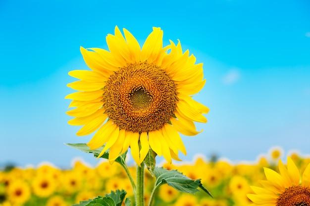 Schöne landschaft mit sonnenblumenfeld über bewölktem blauem himmel und hellem sonnenlicht