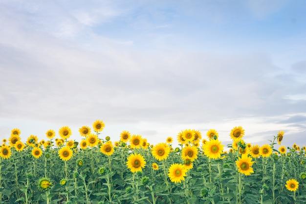 Schöne landschaft mit sonnenblumenfeld