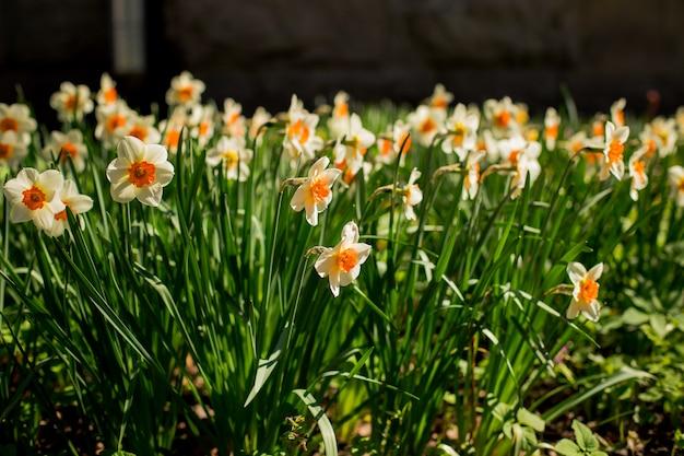 Schöne landschaft von narzissenblumen