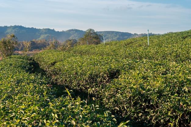 Schöne landschaftsansicht des großen teebauernhofes auf dem hügel mit frischen blättern