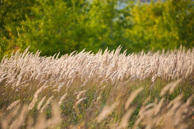 Schöne landwirtschaftssonnenunterganglandschaft. ohren des goldenen weizenabschlusses oben. ländliche szene unter sonnenlicht. sommerhintergrund von reifenden ohren der landschaft. wachstum naturernte. weizenfeld naturprodukt.