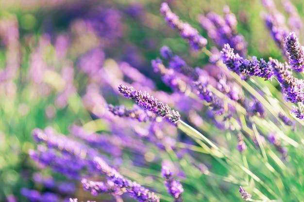 Schöne lavendel-nahaufnahme mit unscharfem hintergrund, provence frankreich