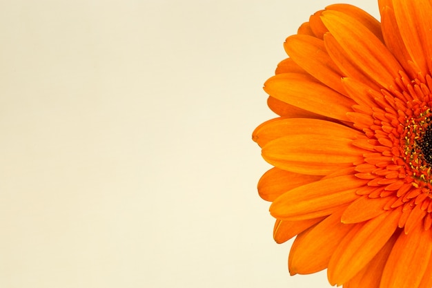 Schöne leuchtend orange gerbera im makro