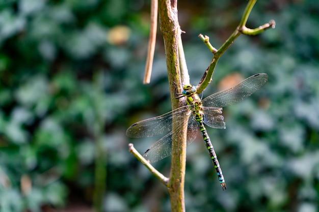 Schöne libelle, die auf einem zweig mit unscharfem hintergrund sitzt