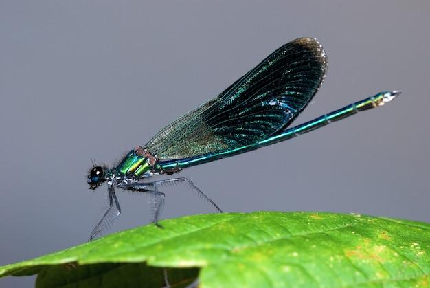 Schöne libelle in der natur, abschluss herauf makrophotographie