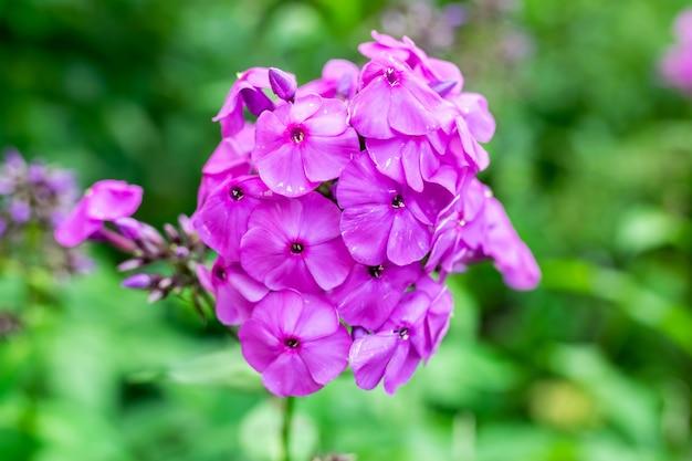Schöne lila blume auf grünem hintergrund. foto in hoher qualität