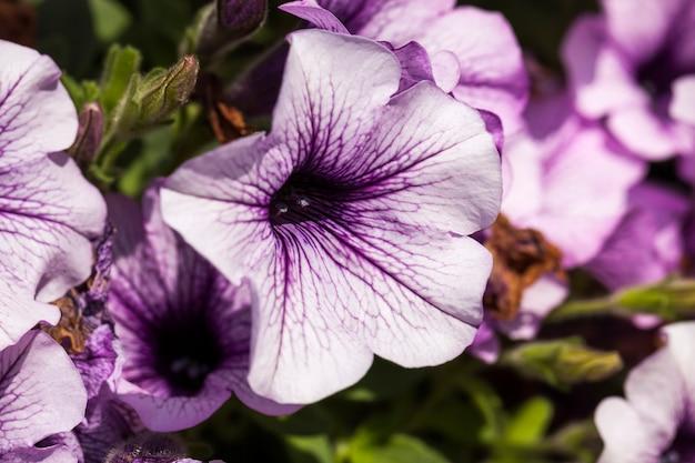 Schöne lila blumen in blumenbeeten in der frühlingssaisonblumen schließen und wachsen in einem blumenbeet in den stadtblütenpflanzen
