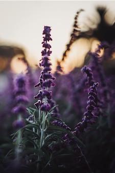Schöne lila digitalis während des tages