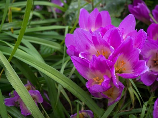 Schöne lila herbstblumen im grasdickicht
