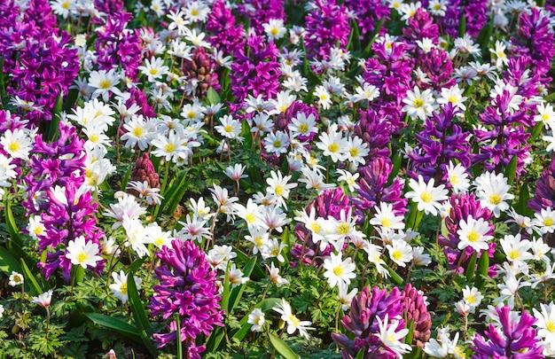 Schöne lila hyazinthen und weiße blumennahaufnahme im frühjahr. natur hintergrund.